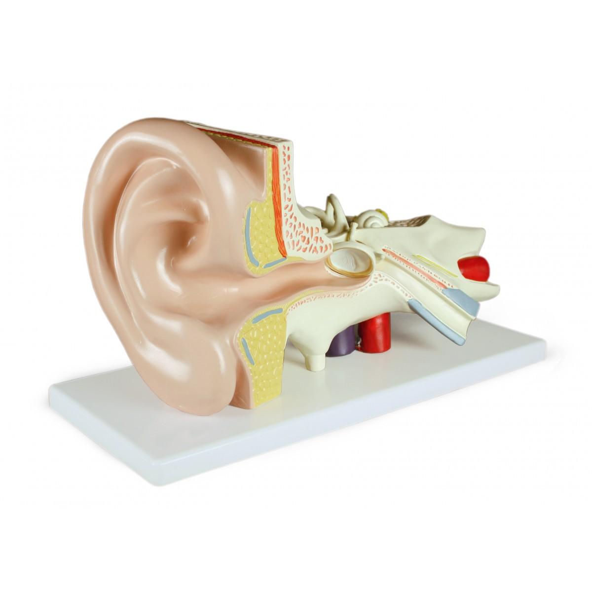Walter Ear Model, 3 Parts - Sense Organs - Human Anatomy - Biology
