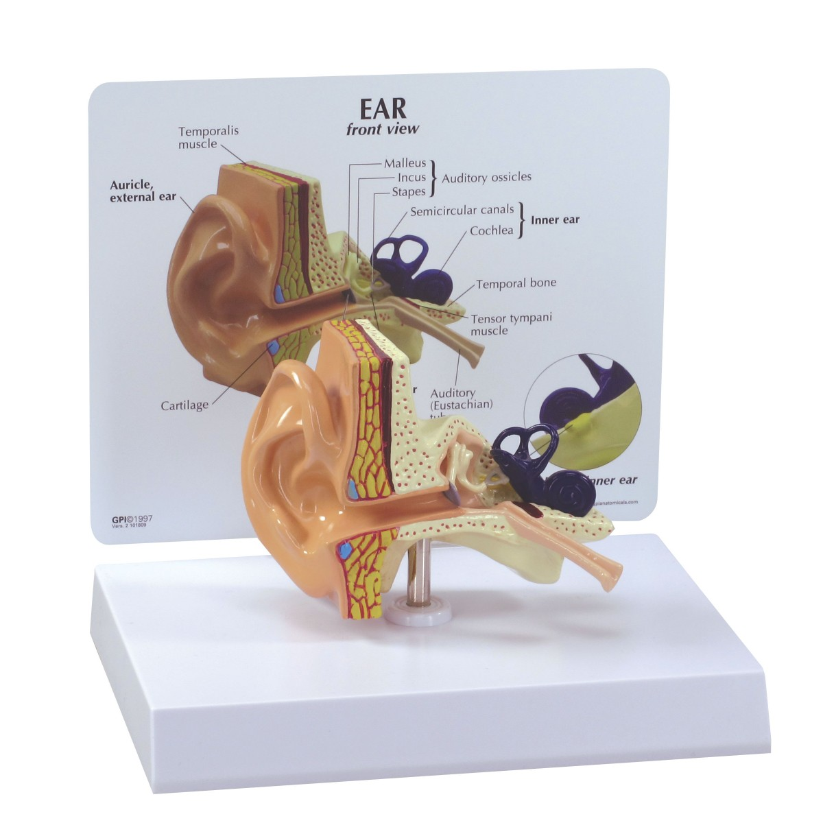 Ear model sense organs human anatomy biology ear model ccuart Image collections