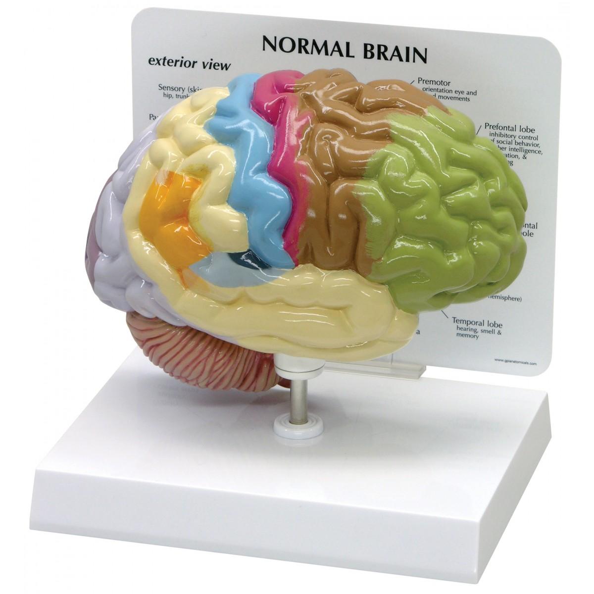 Sensory/Motor Half-Brain - Head, Brain, Nervous System - Human ...