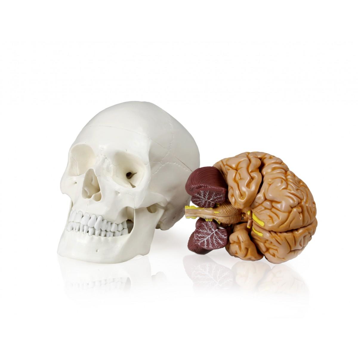 Walter Human Skull w/Brain - Skulls - Skeletal System - Human ...