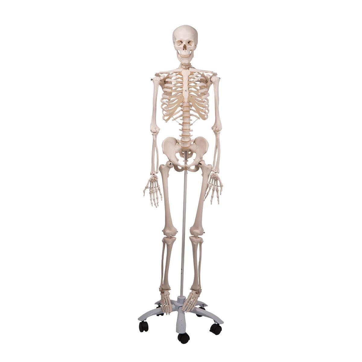 3b Human Skeleton Stan Skeletons Skeletal System Human