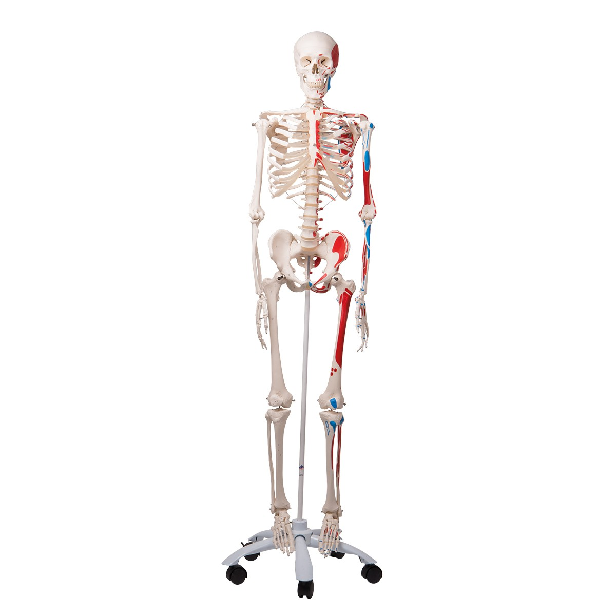 3b Human Skeleton Wmuscles Max Skeletons Skeletal System