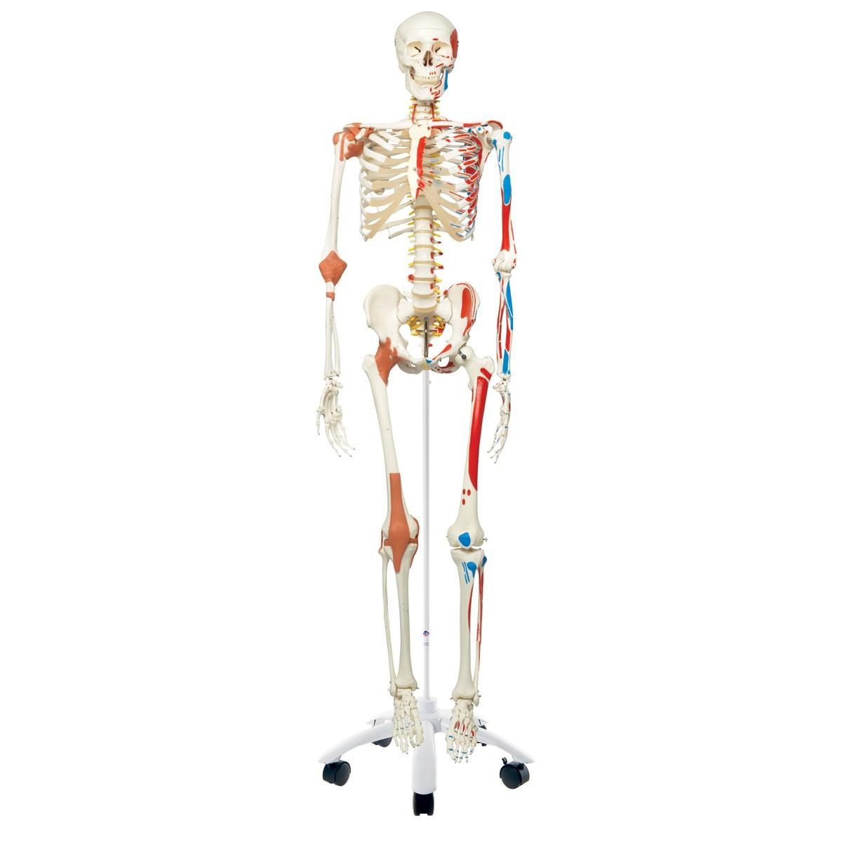 3b Human Skeleton Wmuscles Ligaments Sam Skeletons Skeletal