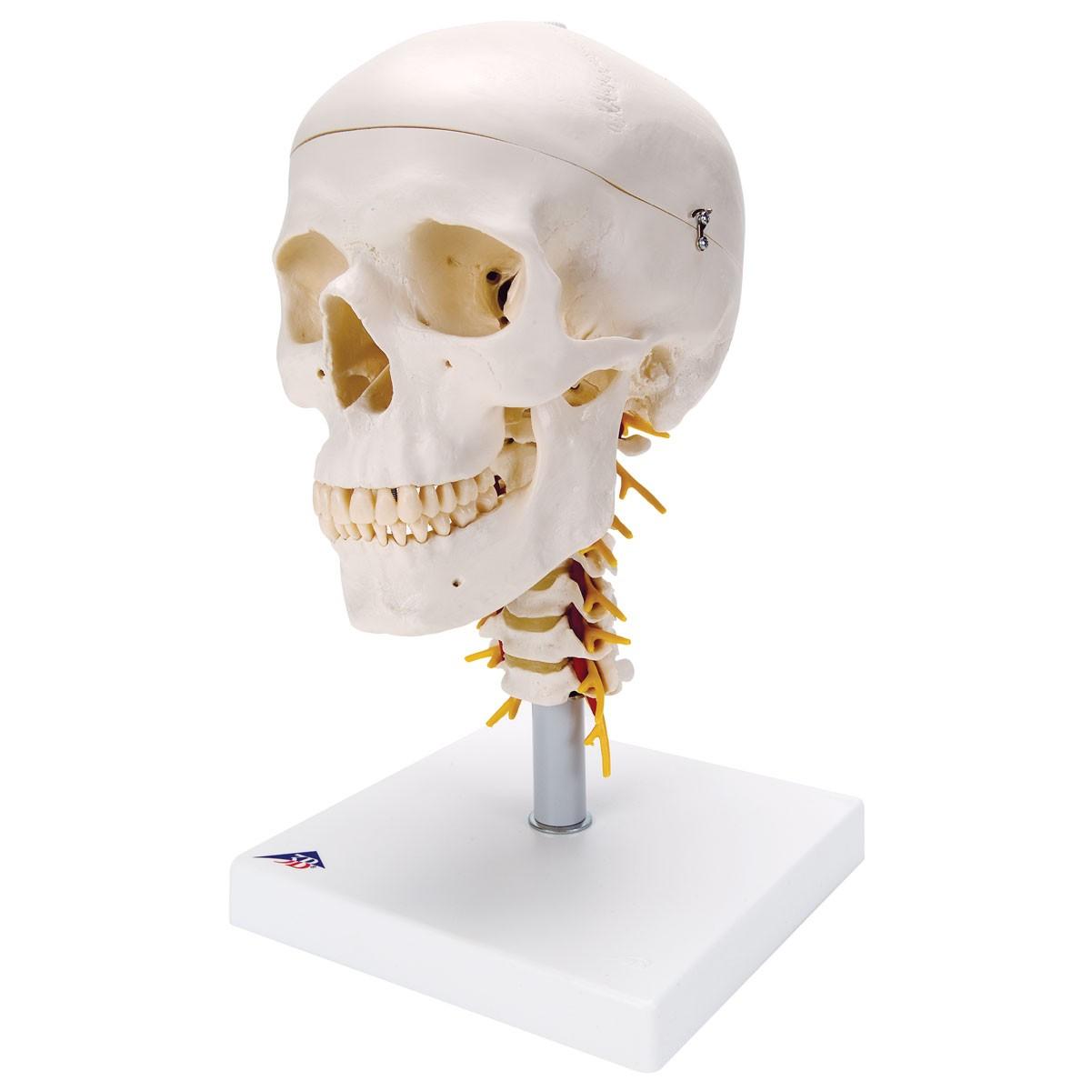 3b Classic Skull On Cervical Spine Skulls Skeletal System