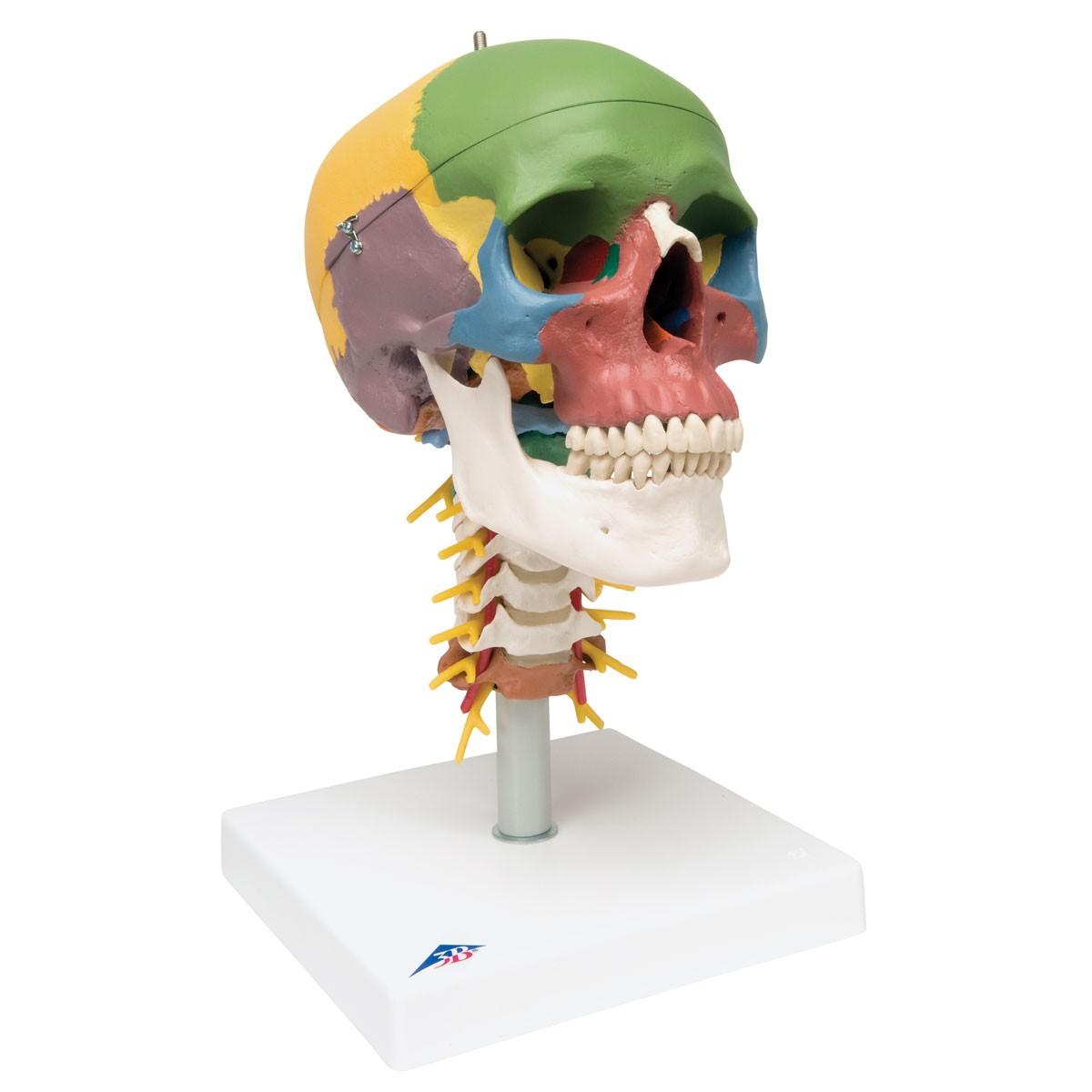 3b Didactic Skull On Cervical Spine Skulls Skeletal System