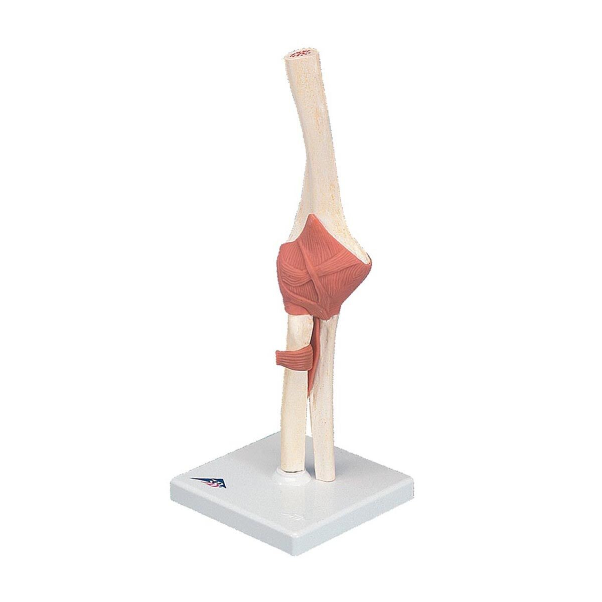 3b Deluxe Functional Elbow Joint Joints Skeletal System Human