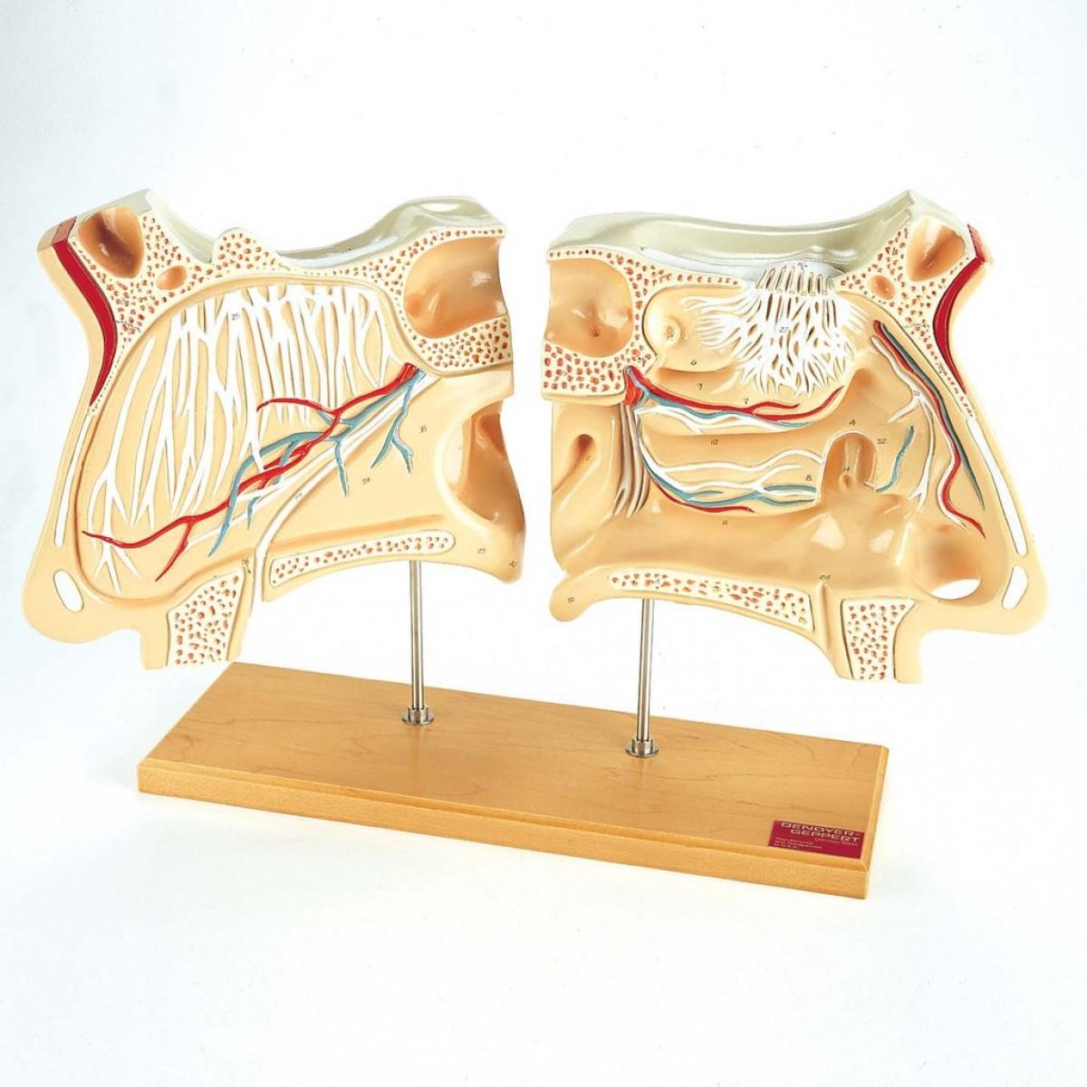 Denoyer Nose and Olfactory Organ Set - Sense Organs - Human Anatomy ...