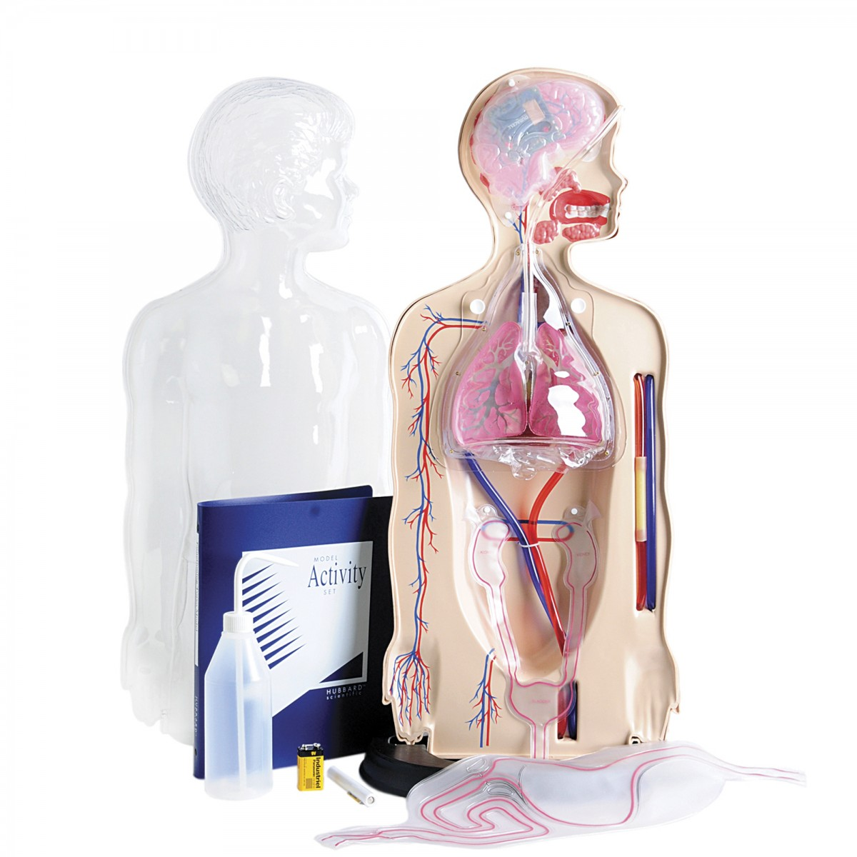 Torso System Model - Torsos - Human Anatomy - Biology