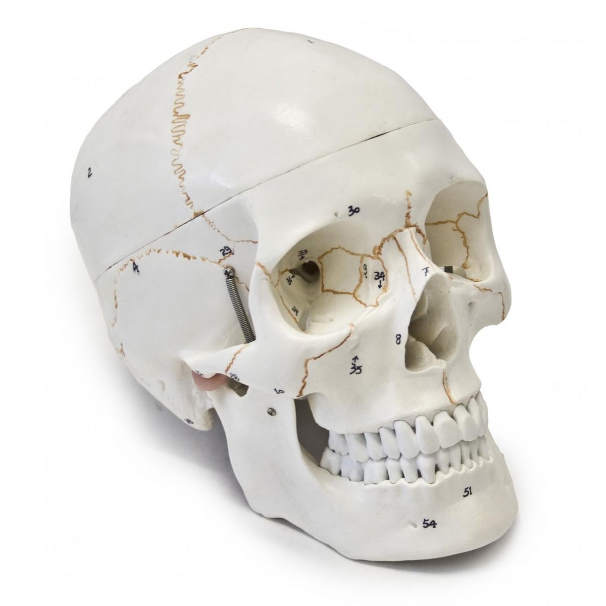 Walter Numbered Human Skull - 3 Parts - Skulls - Skeletal System ...