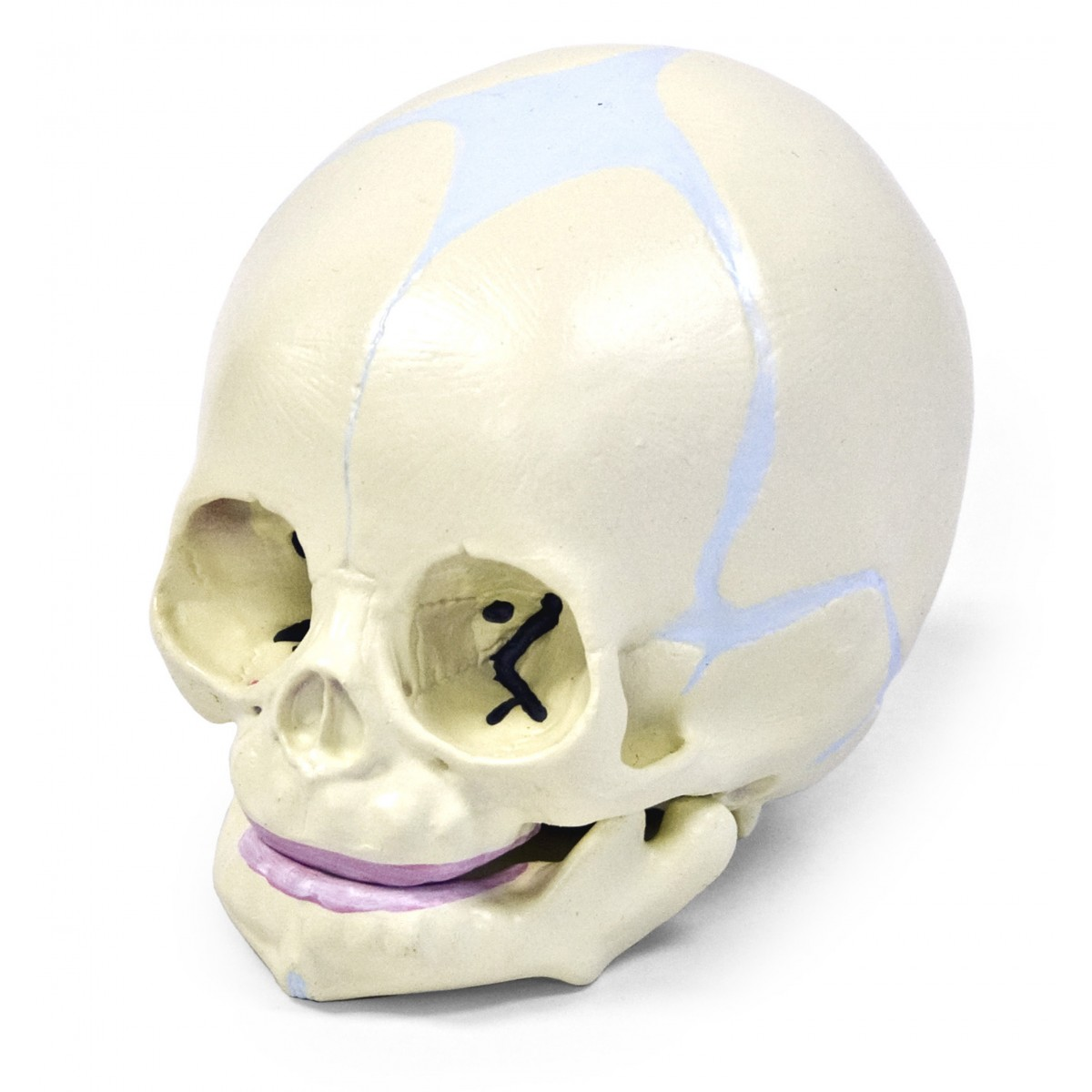Walter Human Fetal Skull - Skulls - Skeletal System - Human Anatomy ...