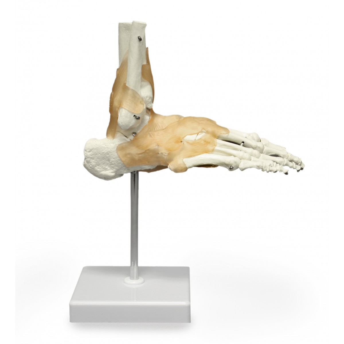 Walter Right Foot and Ankle w/ Ligaments - Joints - Skeletal System ...