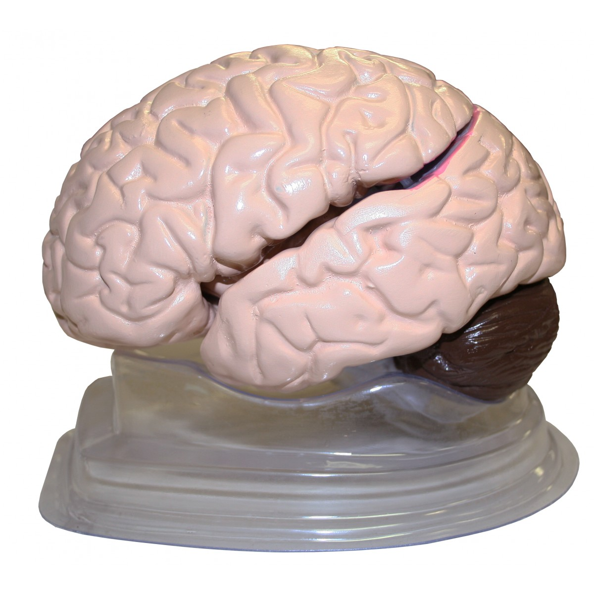 Walter Life Size Brain Model 8 Parts Head Brain Nervous System