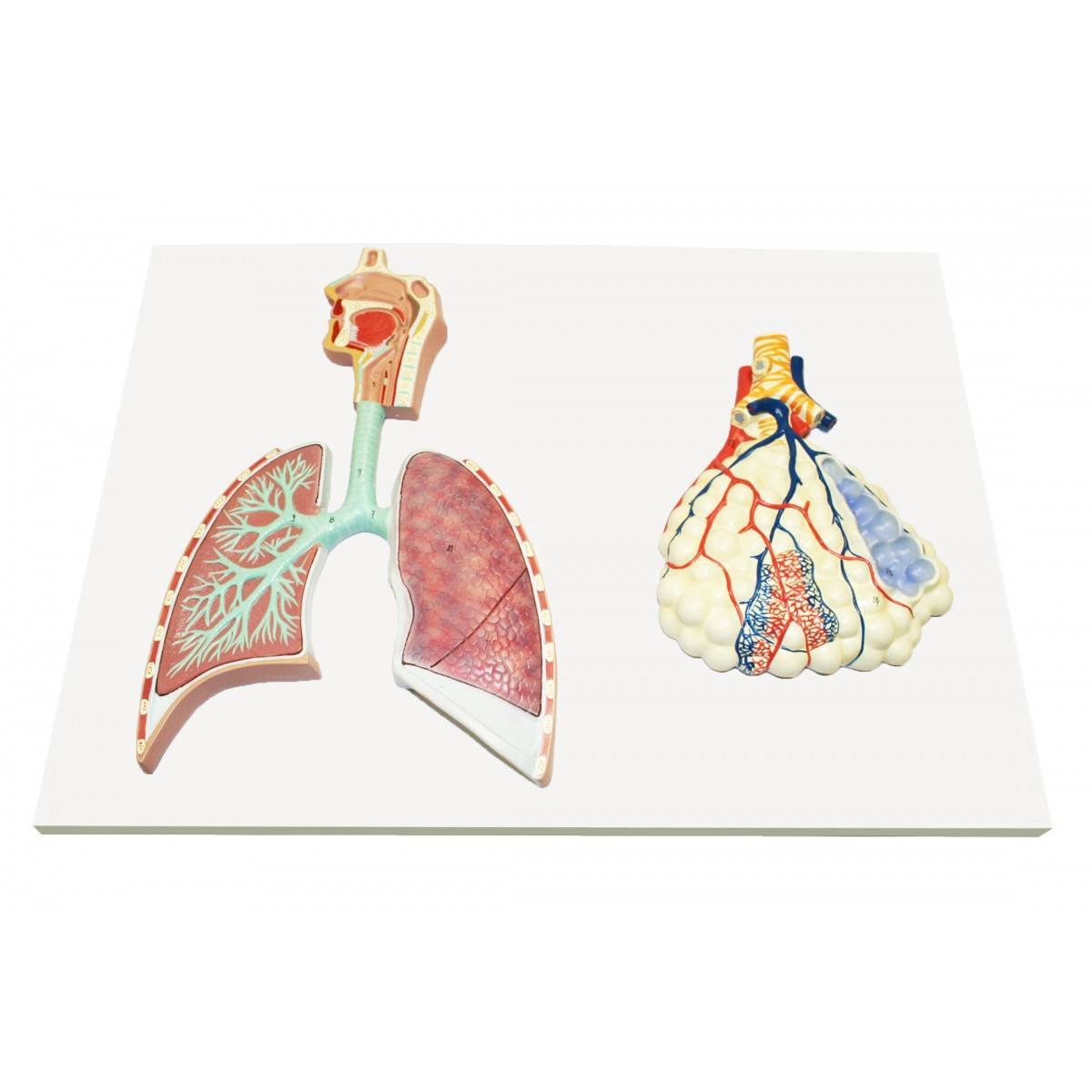 Walter Human Respiratory System w/Magnified Alveolus - Respiratory ...