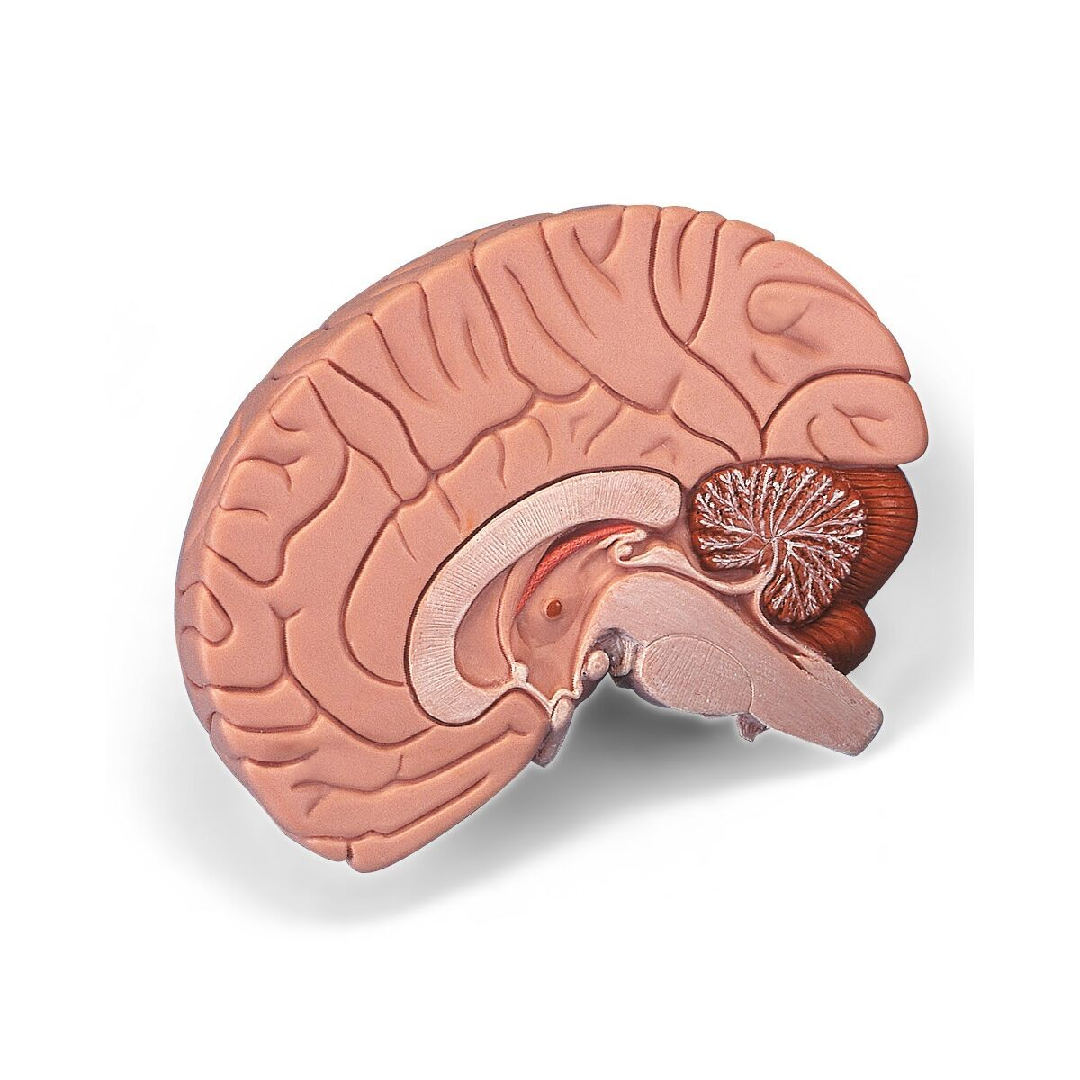 3B Brain - 2 Parts - Head, Brain, Nervous System - Human Anatomy ...