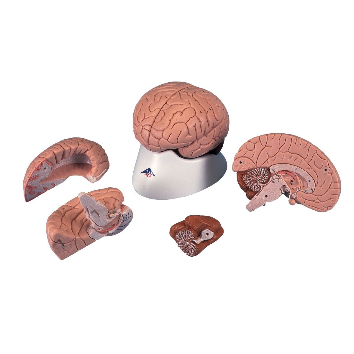3B Brain - 4 Parts - Head, Brain, Nervous System - Human Anatomy ...