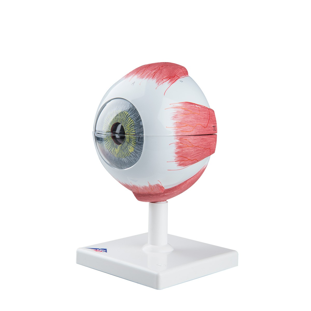 3B Giant Eye Model - Sense Organs - Human Anatomy - Biology