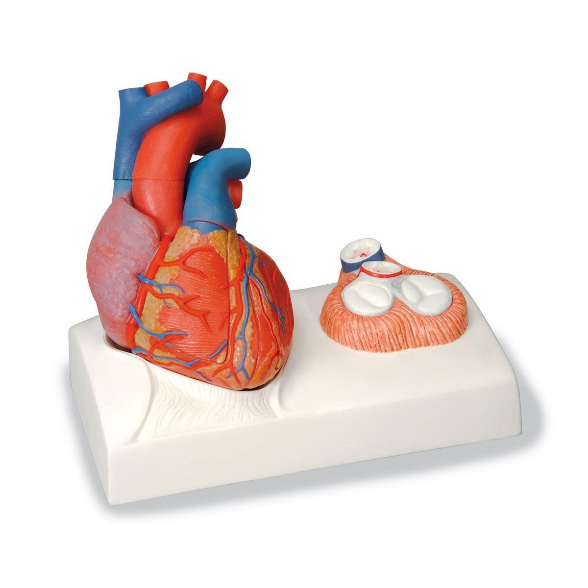 3b Life Size Heart Circulatory System Human Anatomy Biology