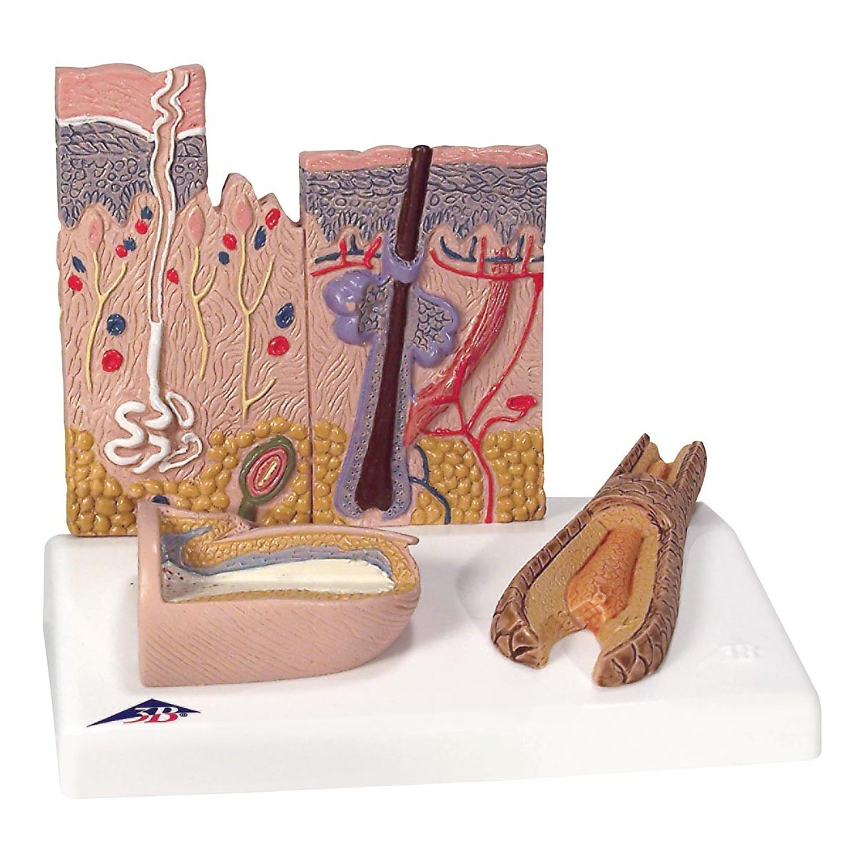 3B Skin, Hair & Nail Model - Skin Models - Human Anatomy - Biology
