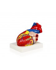 Heart Model 3X Life Size – 3 Parts