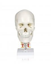 Walter Skull w/Cervical Spine