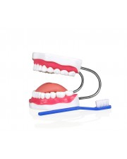 Teeth Model With Brush, Small Model