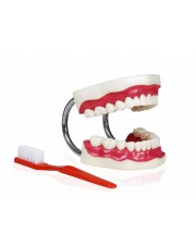 Teeth Model With Brush, Large Model