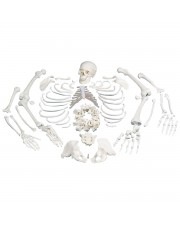 3B Disarticulated Skeleton