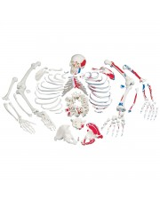 3B Disarticulated Skeleton w/Muscles