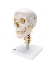 3B Classic Skull on Cervical Spine