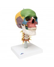 3B Didactic Skull on Cervical Spine