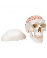 3B Classic Skull w/Brain