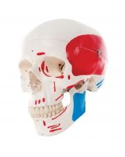 3B Classic Skull, Painted