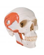 3B Classic Skull w/Masticatory Muscles