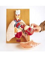 Denoyer Cardiopulmonary System (Heart and Respiratory Organs)