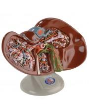 Denoyer Liver and Gallbladder