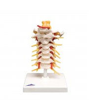 3B Cervical Spinal Column