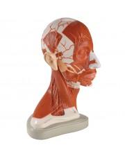 Denoyer Half of Head and Neck Musculatre