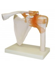 Walter Shoulder Joint
