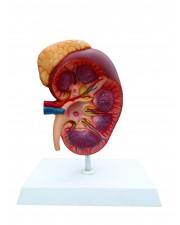 Walter Kidney w/Adrenal Gland
