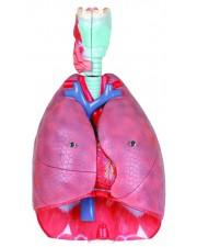 Walter Human Respiratory System