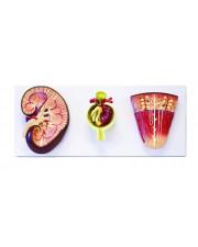 Walter Kidney, Nephron & Glomerulus