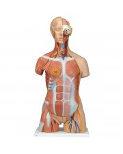 3B Dual-Sex Muscle Torso