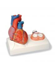 3B Life-Size Heart
