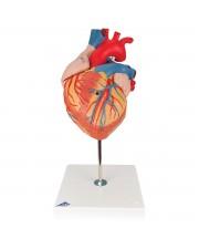 3B Heart Model