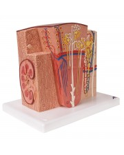 3B Microanatomy Kidney