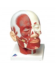 3B Head Musculature