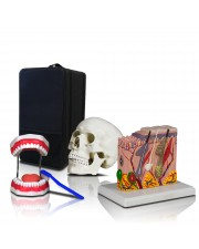 B1 Elementary and High School Learning Package. Set of Three Human Anatomy Models, Teeth, Skull and Skin with Carrying Case