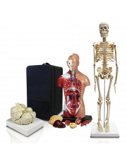 B2 Elementary and High School Learning Package. Set of Three Human Anatomy Models, Skeleton, Torso and Brain with Carrying Case