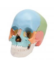 3B Beauchene Human Skull, Didactic Colored Version - 22 Parts