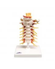 3B Cervical Spinal Column, Life-Size